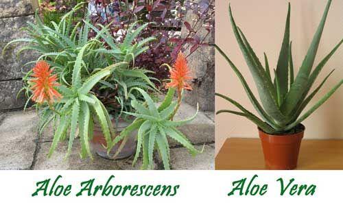aloe arborescens le propriet benefiche orto e giardino pinterest aloe. Black Bedroom Furniture Sets. Home Design Ideas