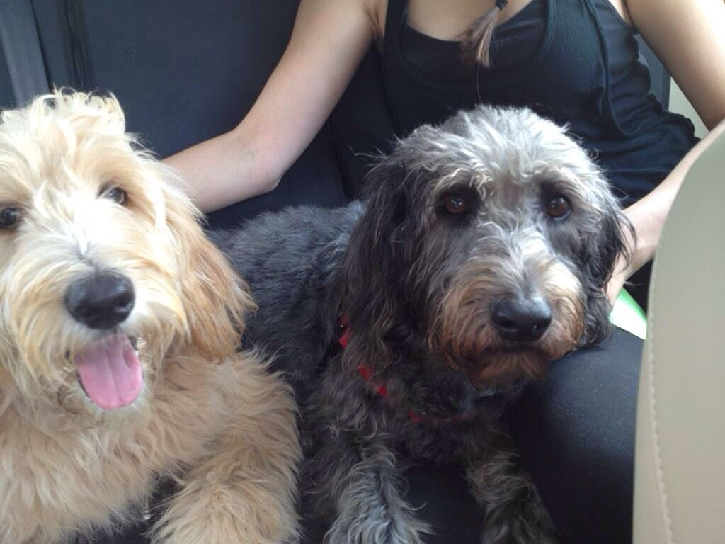 Maizey, a six month old goldendoodle puppy & Murphy, a 5