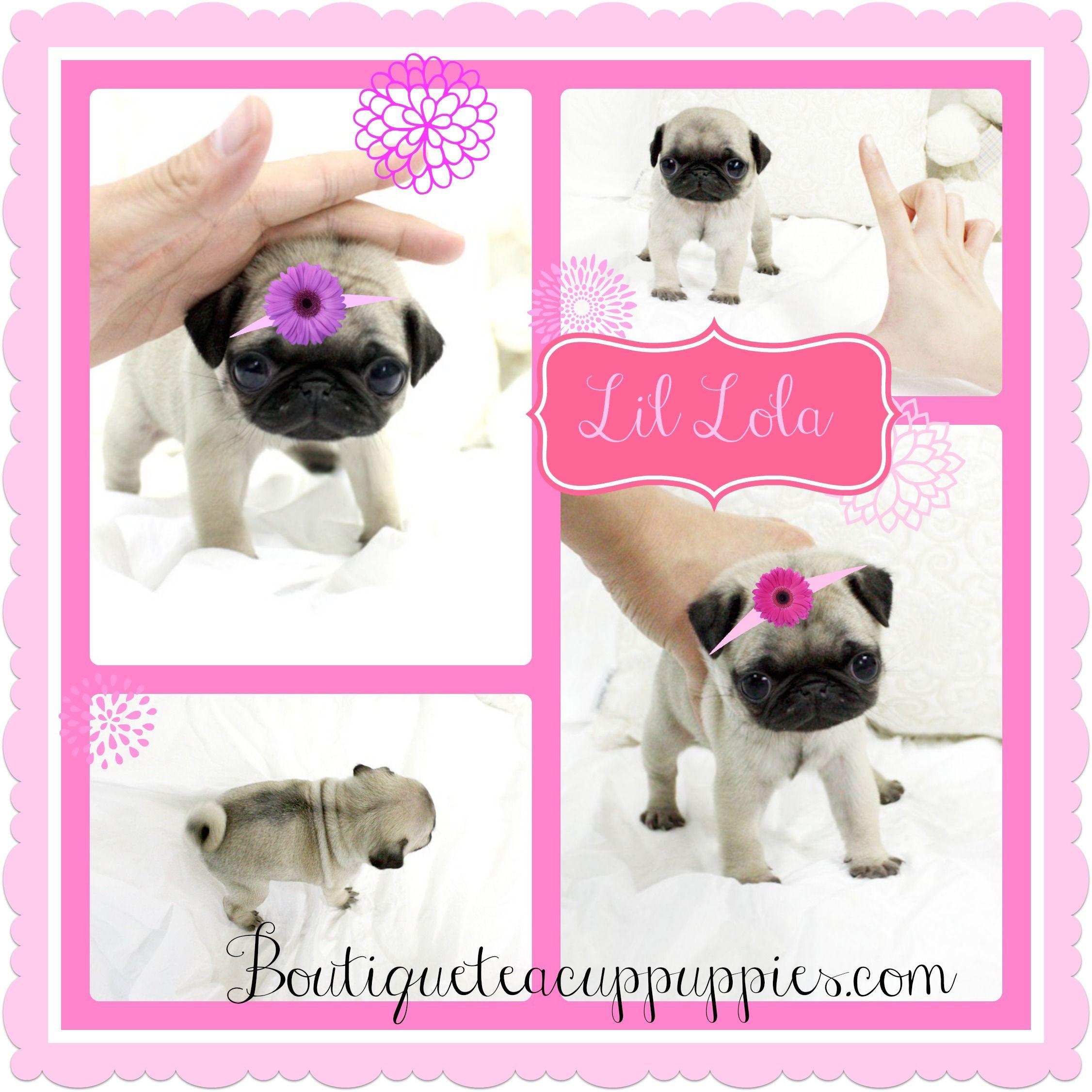 So Tiny And Cute Lola Such An Amazing Tiny Pug Teacup Pug
