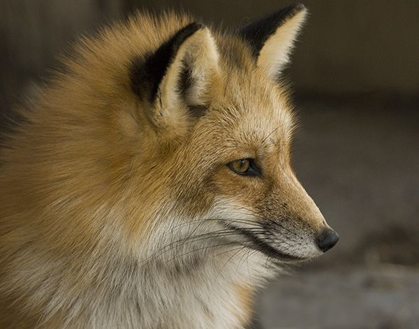 Red Fox Ohio Fantastic Fox Popular Photography Abstract Photography