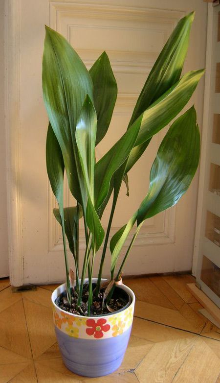 aspidistra elatior schusterpalme pflanzen f r dunkle ecken pinterest plants houseplants. Black Bedroom Furniture Sets. Home Design Ideas