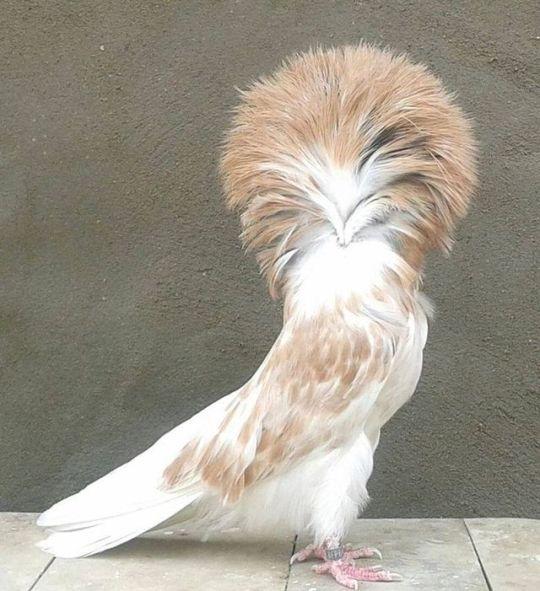 Pigeon a Day   Pigeon breeds, Pigeon bird, Jacobin pigeon