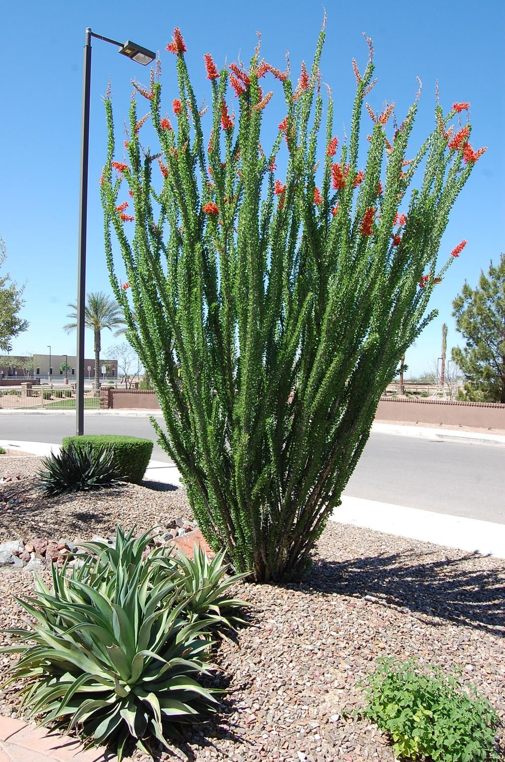 blooming beautiful ocotillo landscaping