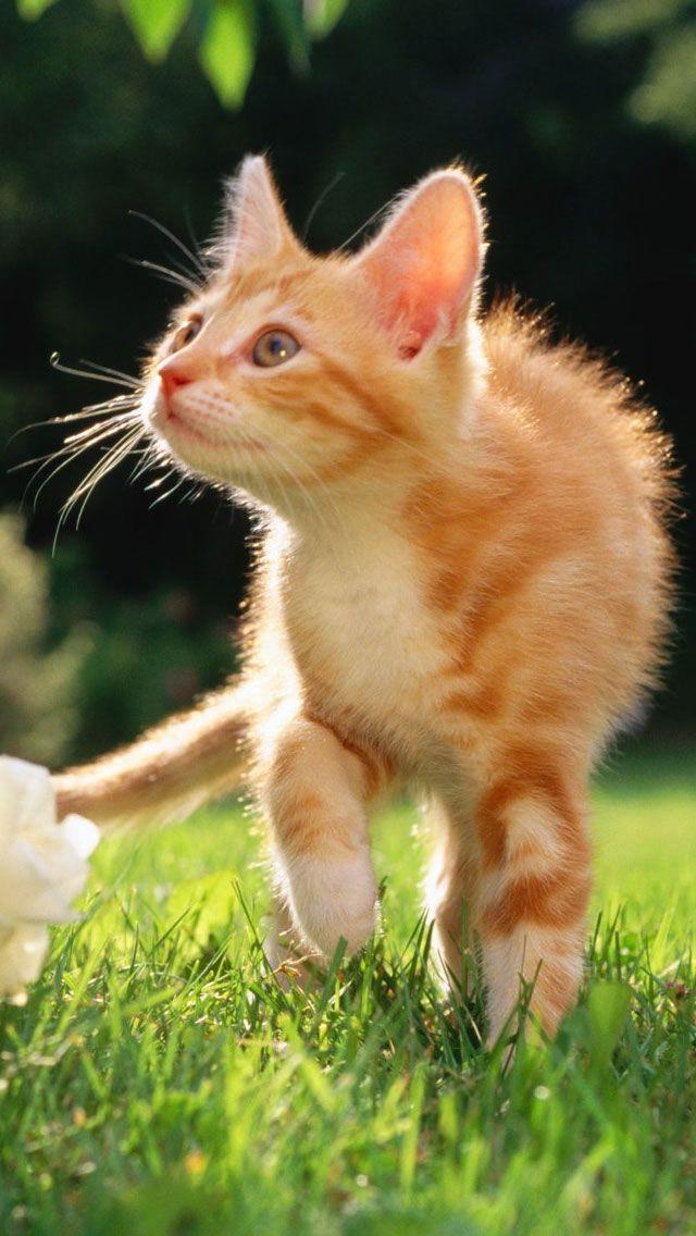 iPhone 5 Wallpaper - Orange Tabby Kitten - HD Wallpapers ...