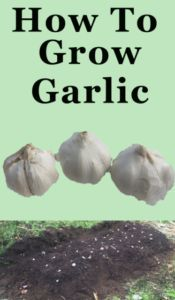 How to plant and grow Garlic bulbs #howtogrowvegetables