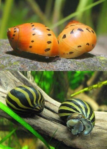 4 Nerite Snails 2 Tiger 2 Zebra Live Freshwater Aquarium Snail Aquarium Snails Freshwater Aquarium Snail