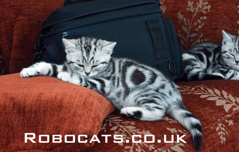 Silver Tabby British Shorthair Cats Are Not Only Beautiful In Their Appearance They Also Have The Most Wonderful Lai Silver Tabby Kitten Silver Tabby Cat Cats