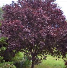 1 Cherry Plum Tree Seedling Prunus Cerasifera Fragrant Ornamental Edible Tree Plants Tree Trunk