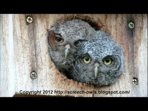funniest and cutest baby screech owls! - youtube | bird box camera