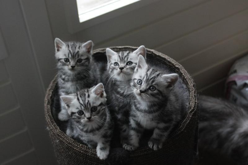 British Shorthair Kittens Cattery Karsten The Netherlands