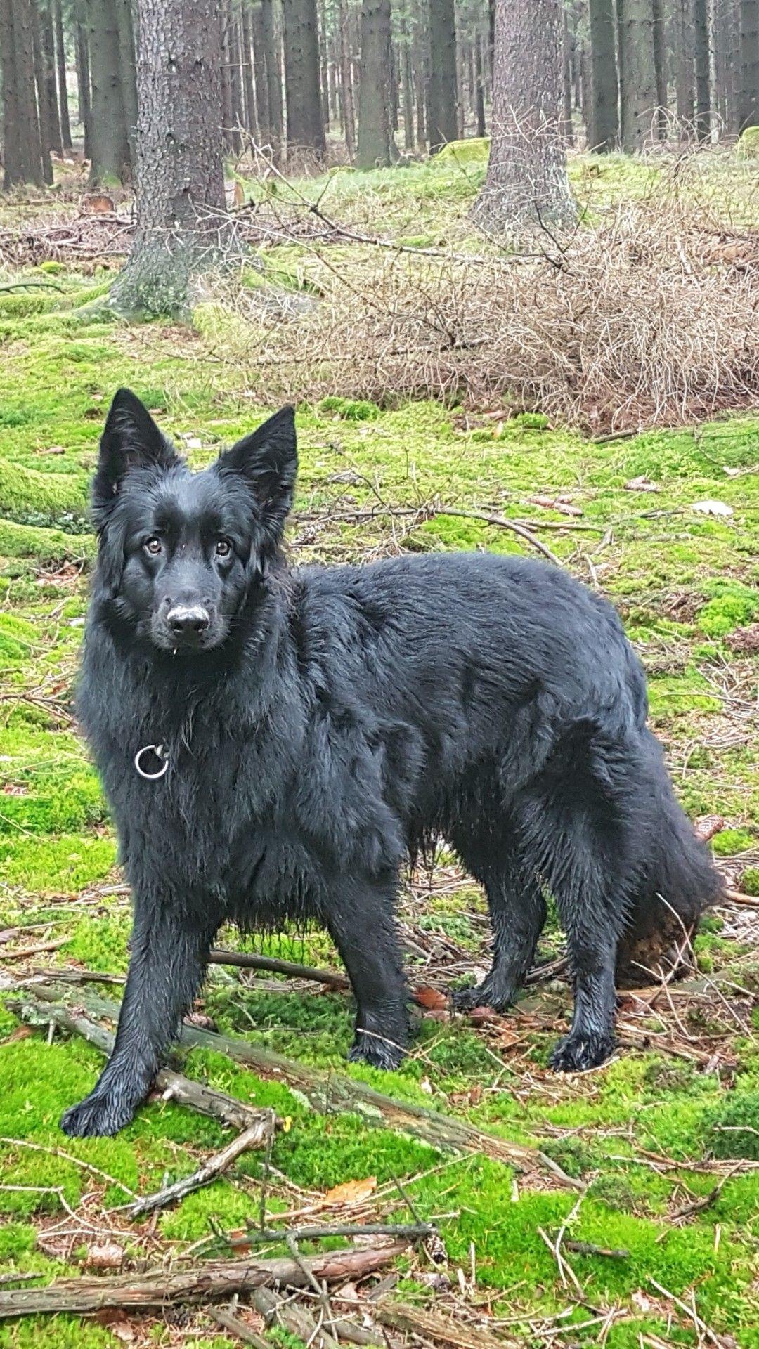 Pin By George Haskell On Mein Altdeutscher Schaferhund Neo Black German Shepherd German Shepherd Puppies Labradoodle Puppy