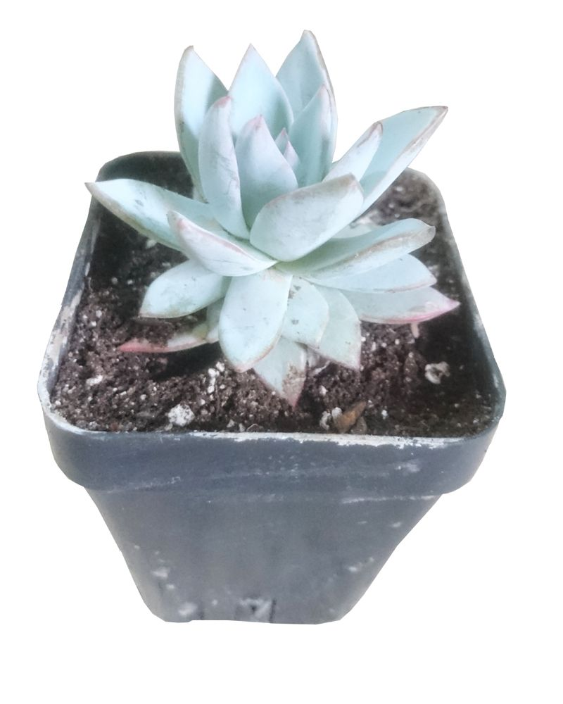 This Cute Little Echeveria Looks Like A Lotus Flower And Makes Your
