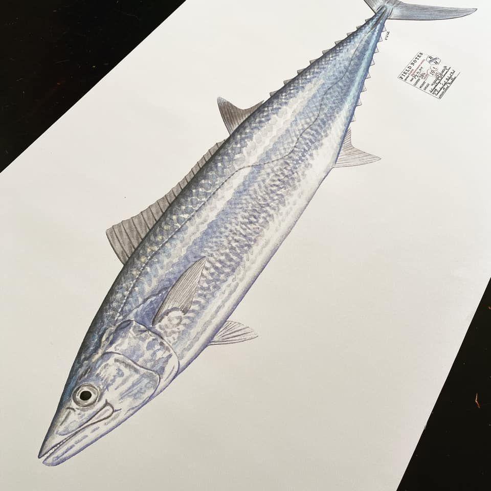 Kingfish Life Size Print Fish Print Print Print Shop