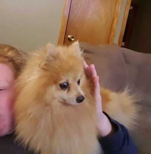 Meet Buffy An Adoptable Pomeranian Looking For A Forever Home If