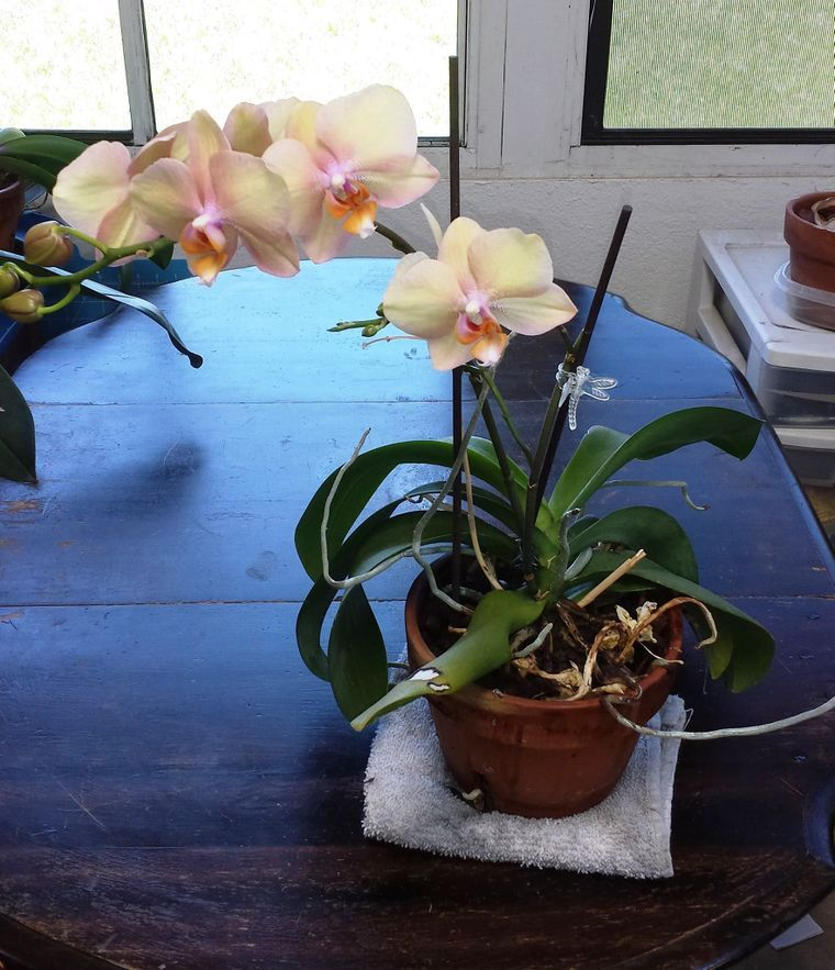How To Revive An Orchid Plant 9 Steps With Pictures Orchid Plants Orchid Roots Growing Orchids