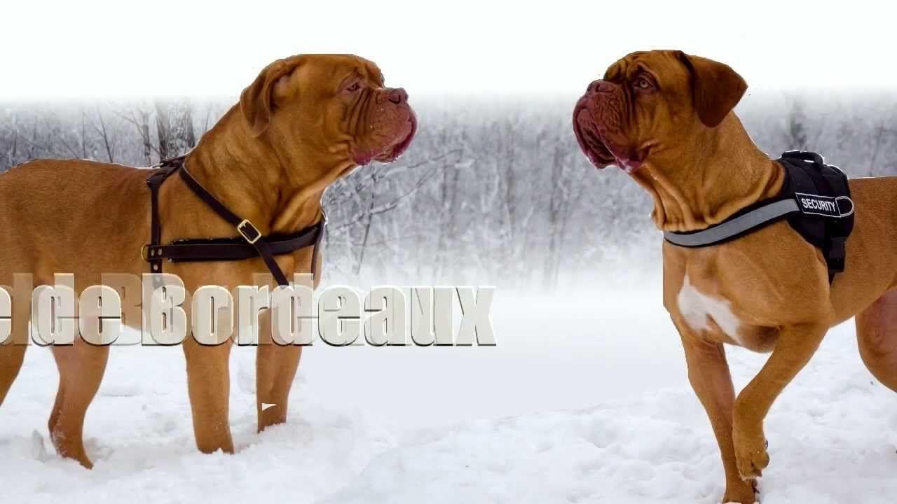 Dogue De Bordeaux Story Bordeauxdog