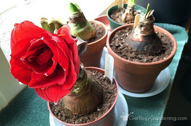 How To Rebloom Your Amaryllis Plants Amaryllis Plant Amaryllis Bulbs Flower Pot Design