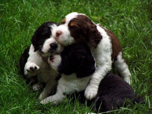 Three's company Springer spaniel puppies