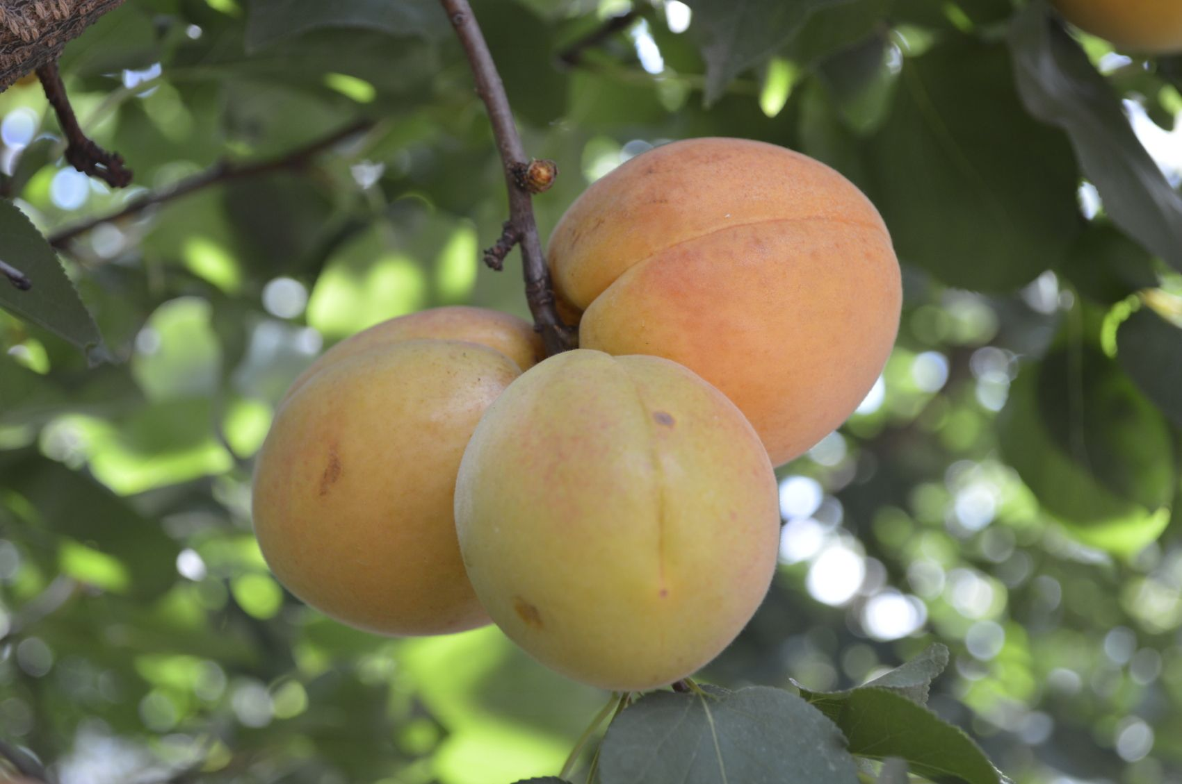 Reasons For An Apricot Tree Not Producing Apricot Tree Pruning Fruit Trees Peach Trees