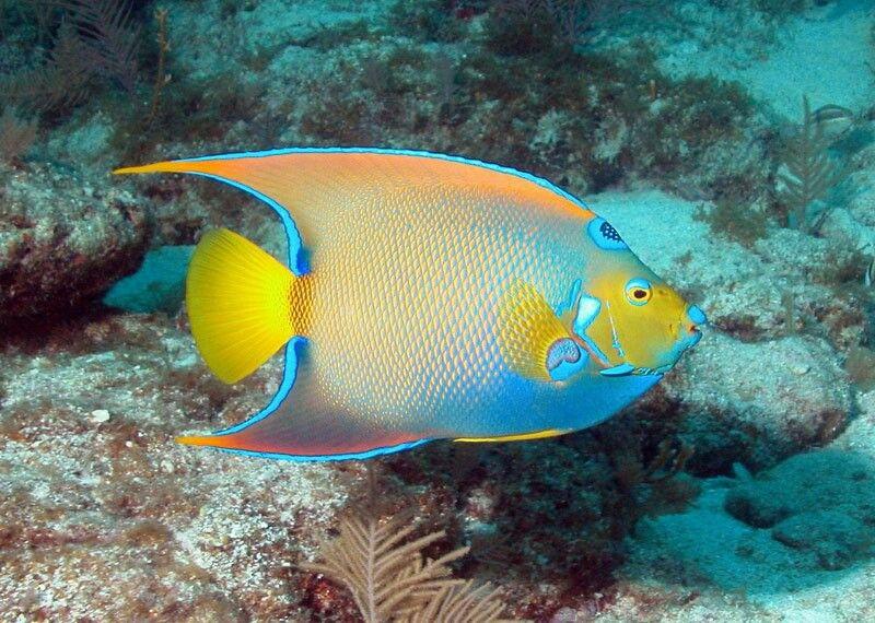 Queen angelfish | Amazing Sea | Pinterest