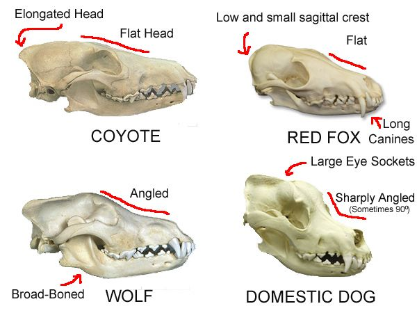 Identify This Skull Page 2 Dog Skull Skull Reference Canine Skull