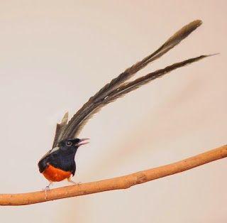 Gambar Murai Batu Aceh Burung Murai Binatang