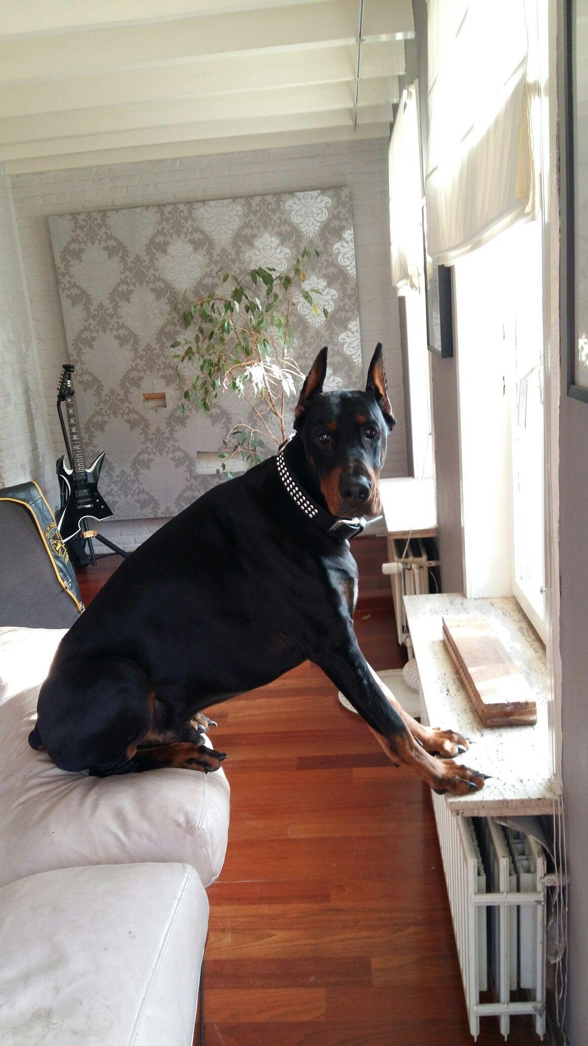 He Think He S Al Little Dog Dobermanpinscher Doberman Pinscher