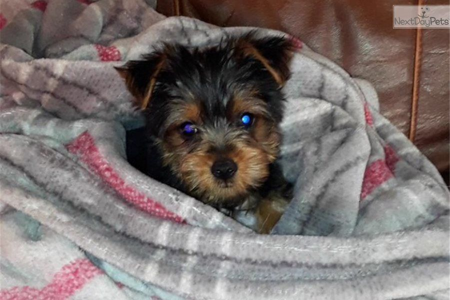 Male Yorkshire Terrier Yorkie Puppy For Sale Near Tyler East Tx Texas And Born On 11 8 2017 A Yorkie Puppy Yorkie Puppy For Sale Yorkshire Terrier Puppies