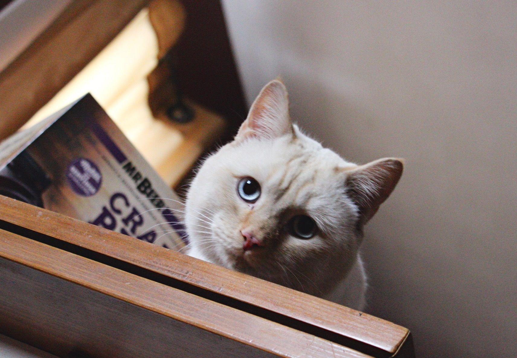 Stevie Wonderbread, the Flame Point Siamese Munchkin Cat