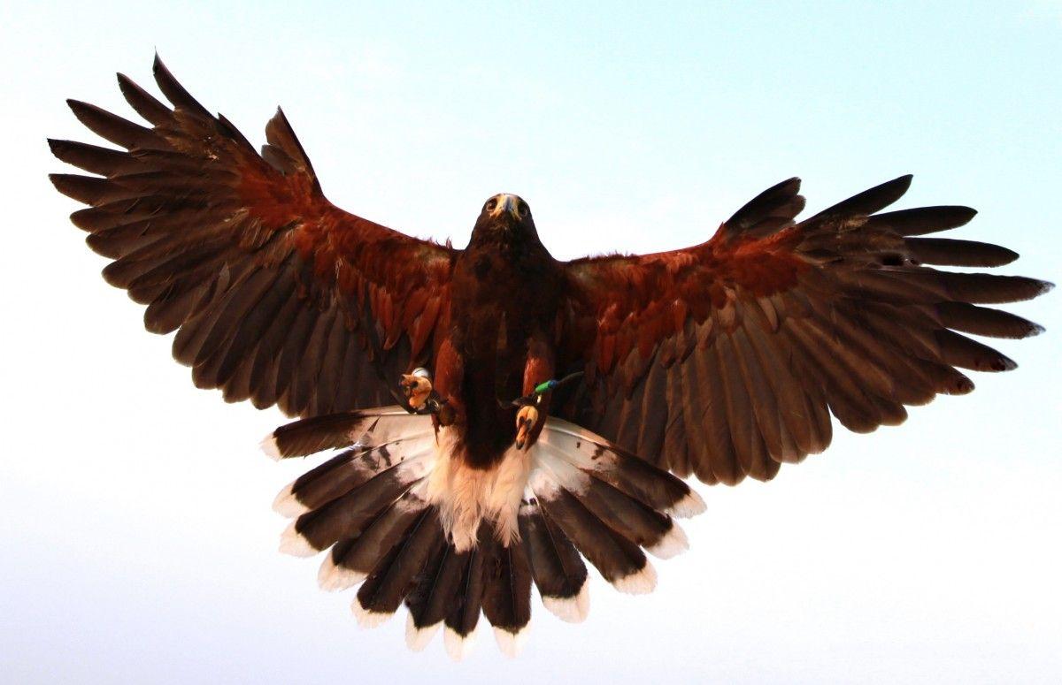 51+ Gambar Burung Elang Rajawali Terbaru
