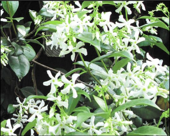 Star Jasmine for Sale | Arizona's Best Shrubs - Moon Valley Nursery
