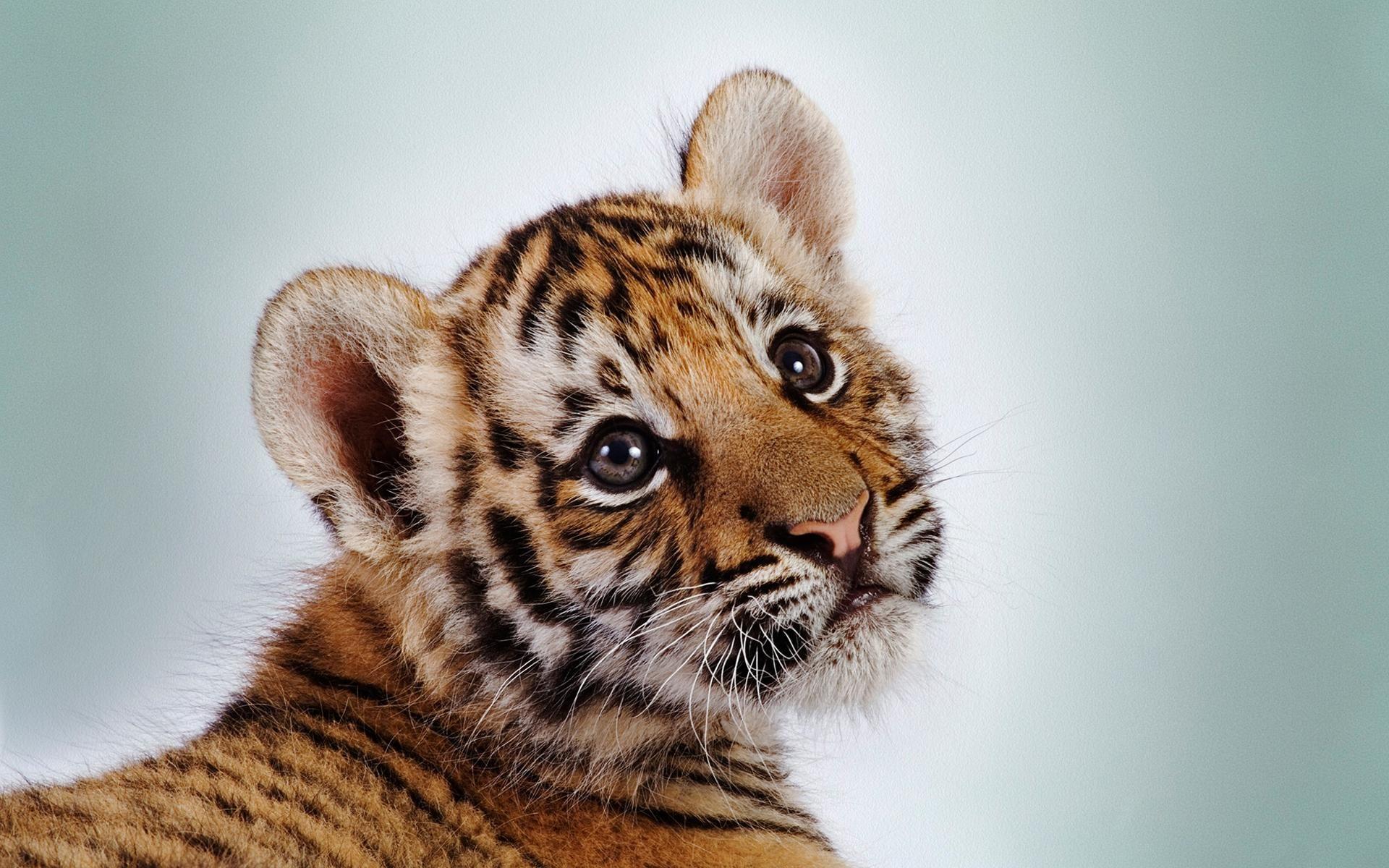 baby tiger wallpapers desktop imanoela | wallpapers | pinterest
