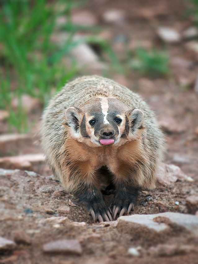 Final Four Week Day Two The Wisconsin Badgers Animals Animal