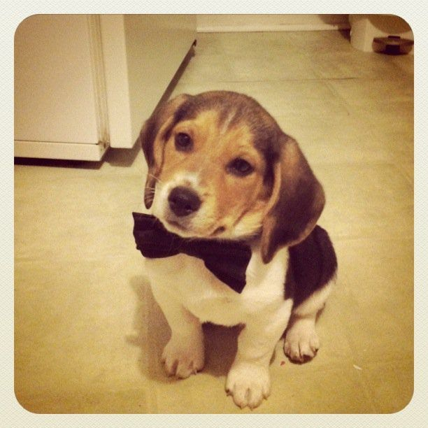 Show Me Your Pets Page 29 Cute Beagles Cute Animals Beagle Puppy