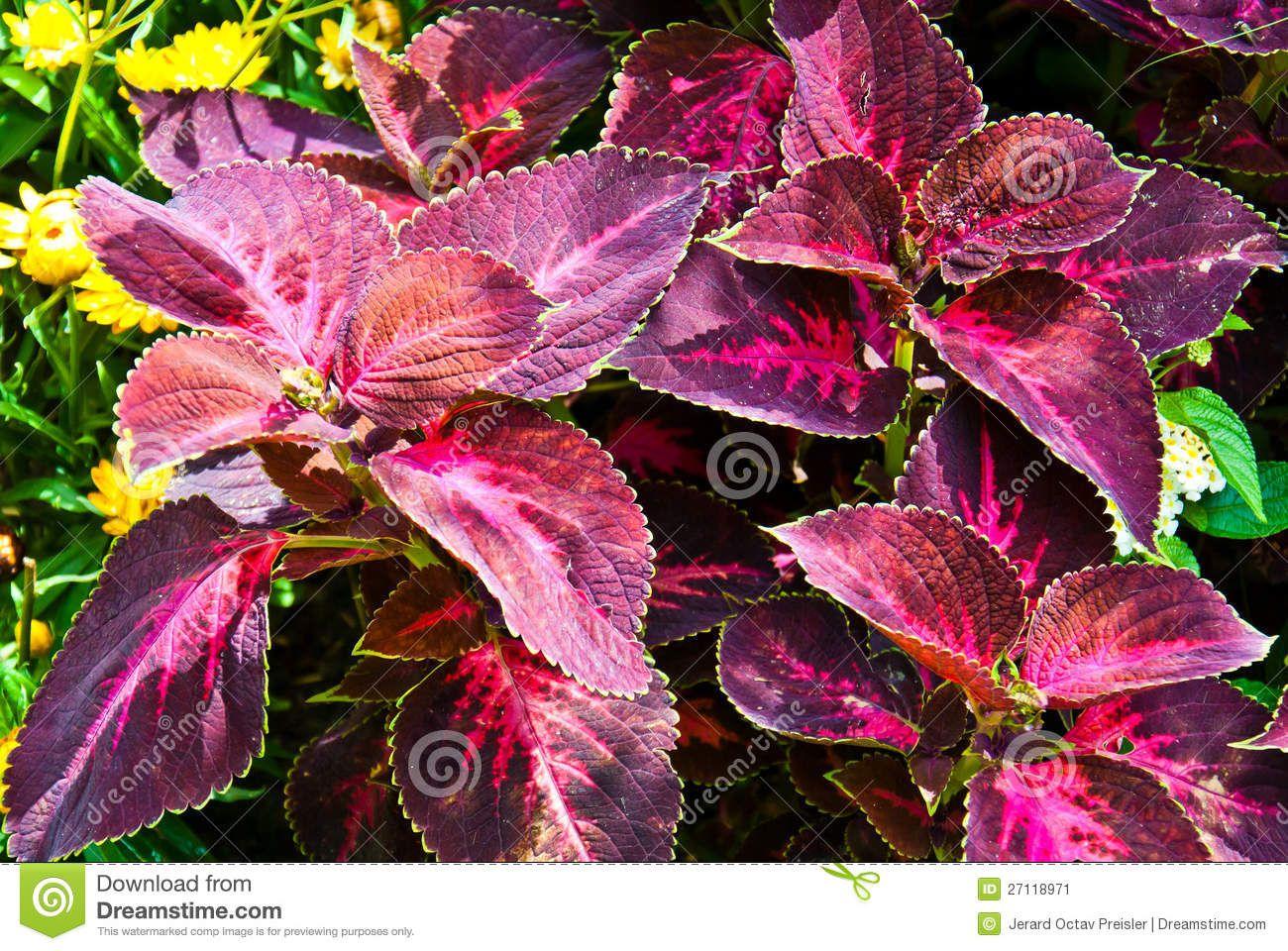 durable foliage plants |  flaming magenta foliage. coleus