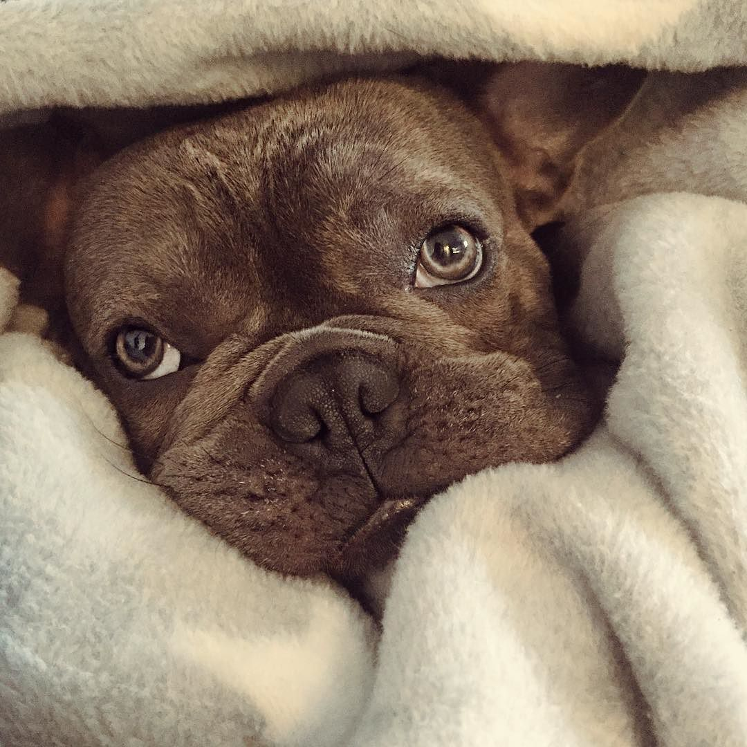 Going Outside Now No Thanks Franzosischebulldogge Frenchielove Frenchbulldog Cute Dog Pictures Baby Puppies Frenchie Puppy