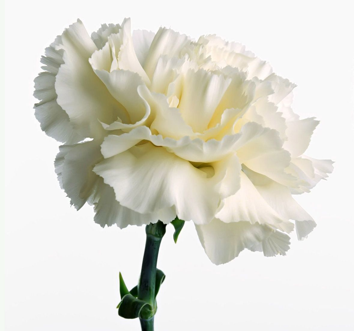 White Carnation Victorian Meaning Sweet Lovely Innocence Pure Love Woman S Good Luck Gift Carnation Flower Pictures Carnation Flower White Carnation