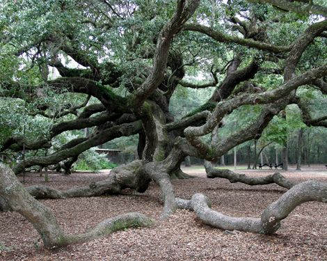 I love the Angel Oak in Charleston SC