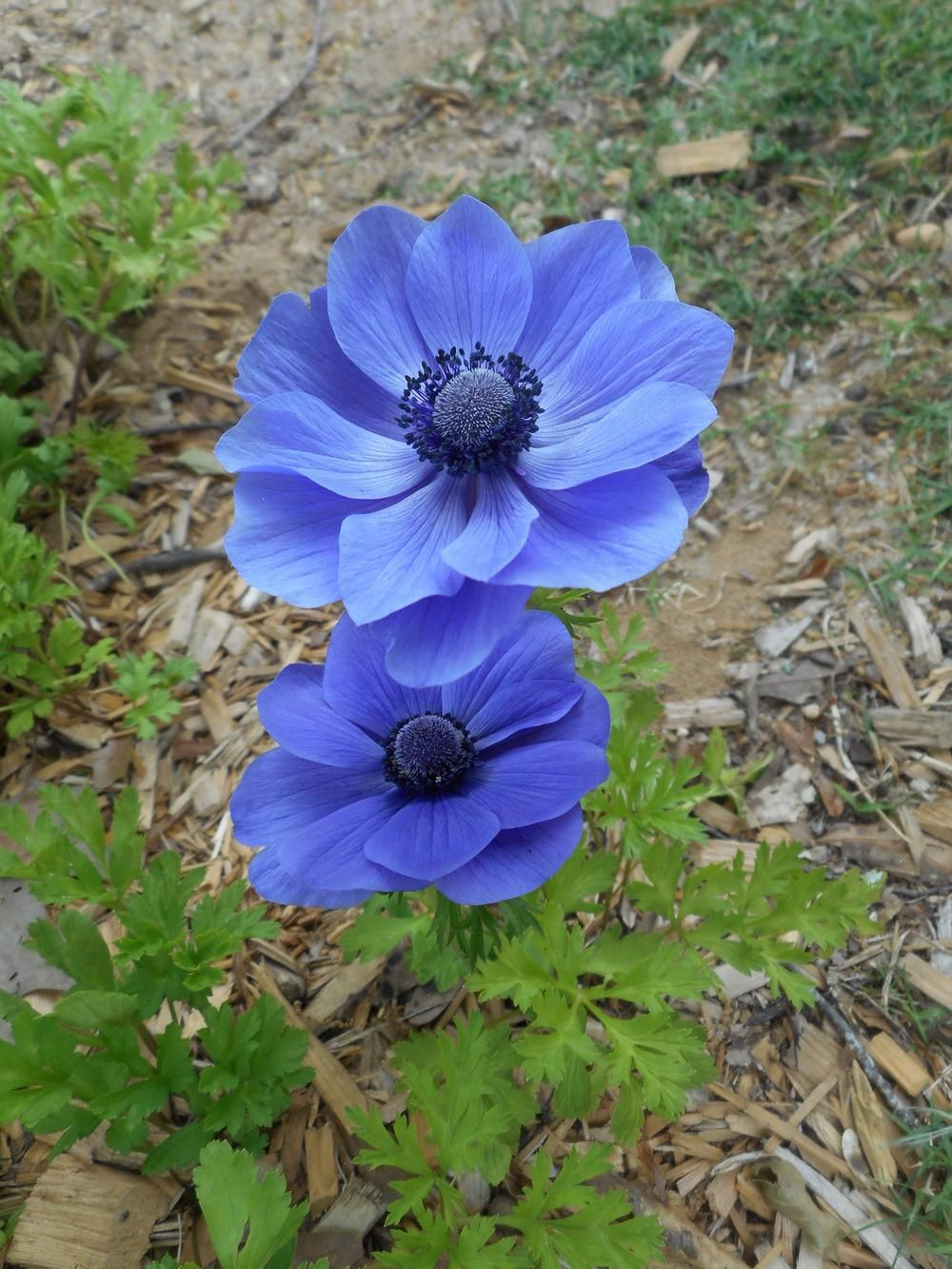 Anemones Plant Care And Collection Of Varieties Garden Org List Of Flowers Anemone Spring Flowers