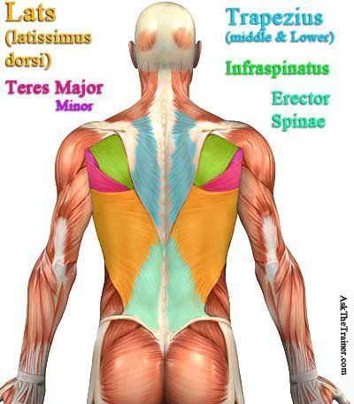 Simple Diagram Of Back Muscles - Wiring Diagram & Electricity Basics ...