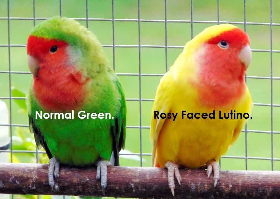 Examples Of Lutino And Normal Green African Lovebirds Pet