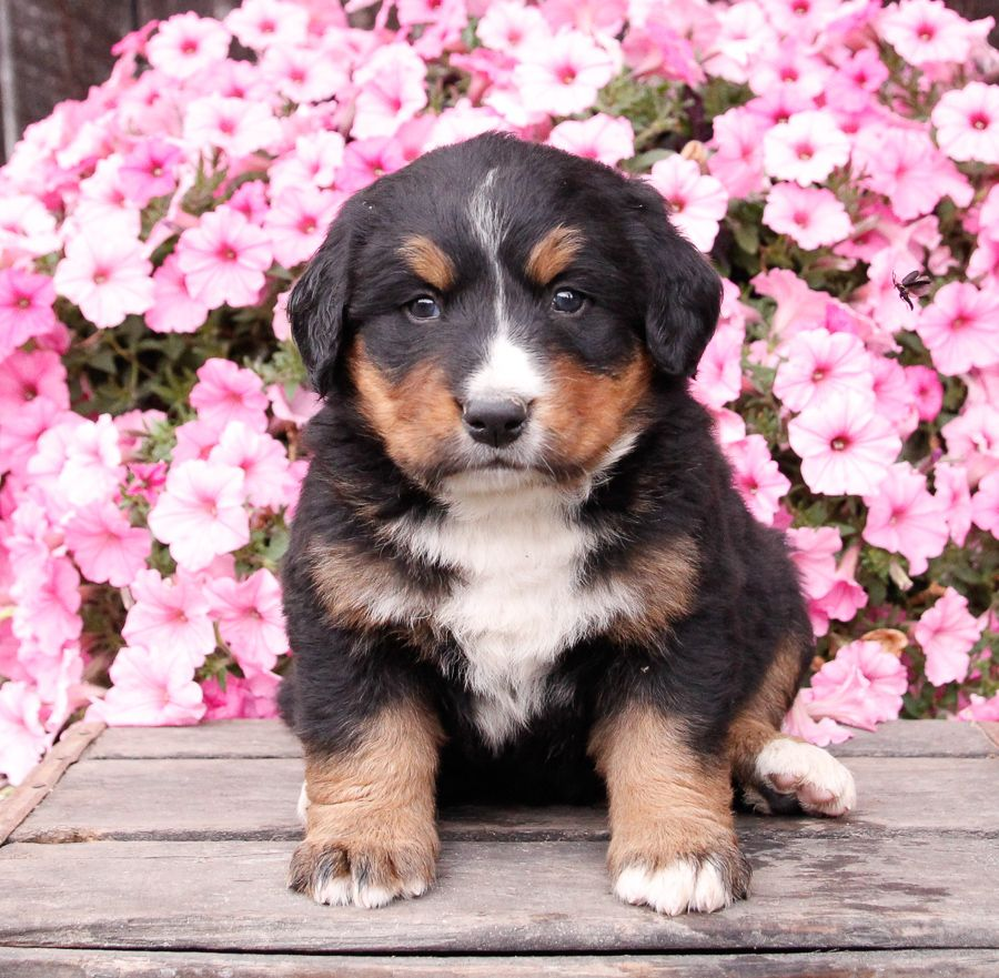 Puppies For Sale Dog Breeder Puppies Dogs And Puppies