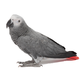 African Grey Parrot Personality Food Care Pet Birds By