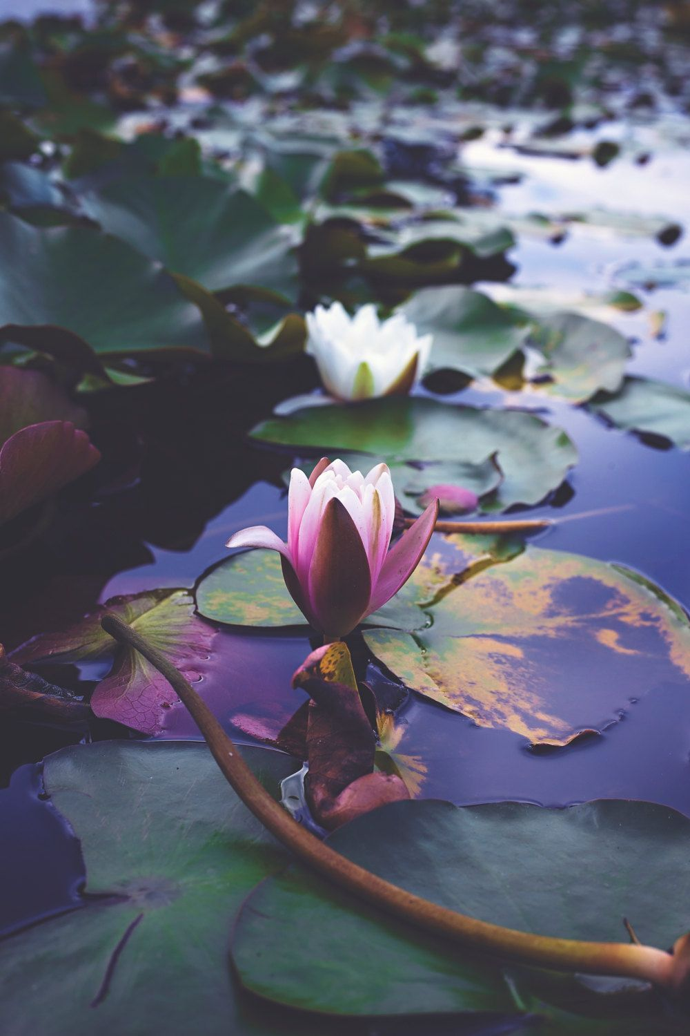 Morning Lily Pad By Perspectivephotonart On Etsy Lotus Pinterest