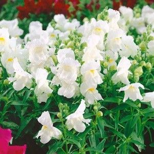 Snapdragons montego white antirrhinum annual flower seeds 6 8in snapdragons montego white antirrhinum annual flower seeds 6 8in mightylinksfo