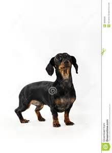Black And White Dachshund Bing Images Weiner Dog Dachshund