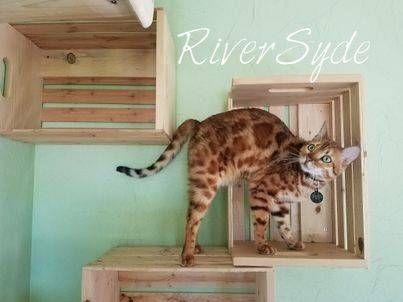 ne cattery riversyde kittens lincoln willow