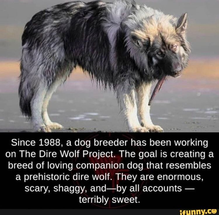 Since 1988 A Dog Breeder Has Been Working On The Dire Wolf