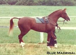 Blue Madrigal by Blue Ludo out of Fair Legend anglo arab bred by Angela Angold