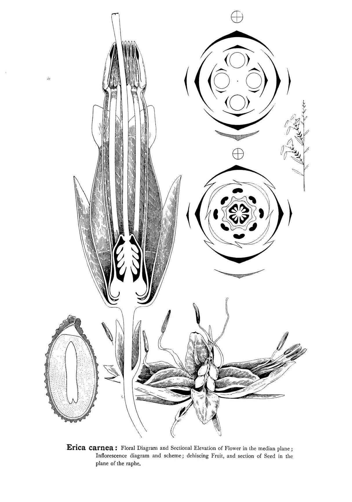 P 217 | Arthur Harry Church | Types of floral mechanism; a